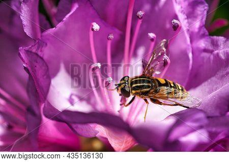 Schwebefliege Beim Nekta Sammeln Auf Einer Rosa Blüte