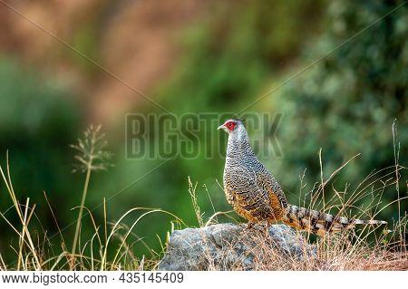 Cheer Pheasant Or Catreus Wallichii Or Wallich's Pheasant Bird Portrait During Winter Migration Perc