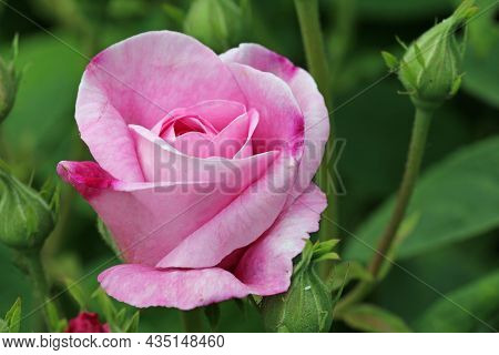 Pink Rose Flower, Rosa Species Of Unknown Variety, In Close Up With A Background Of Blurred Leaves A