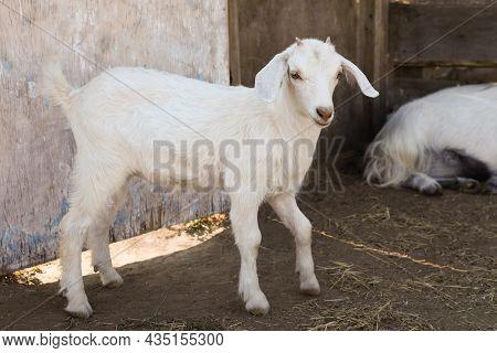 Cute Domestic Goatling On Farm. Animal Husbandry