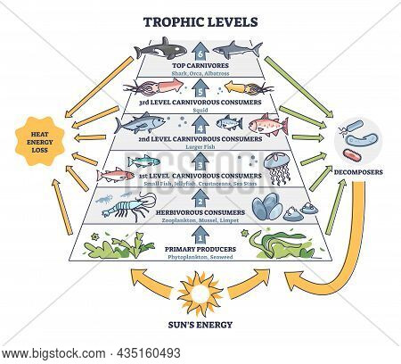 Trophic Levels In Water Wildlife As Ocean Food Chain Pyramid Outline Diagram. Labeled Educational Di