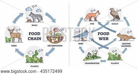 Food Chain Vs Food Web As Ecosystem Feeding Classification Outline Diagram. Labeled Educational Comp