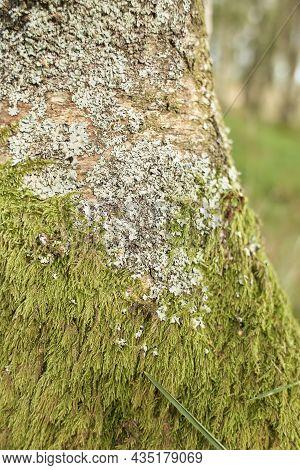 Mossy Timberland. Tree Trunks Mossy. Tree Trunk Green Moss. Mossy Tree Trunk On Ground