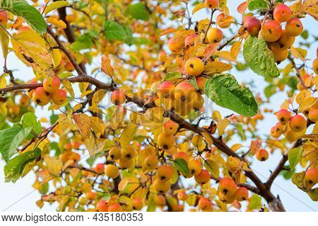 Crab Apples On The Branches Of An Apple Tree.