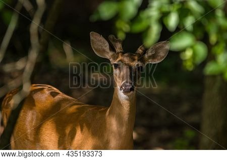 A Partial View Of A Young Buck Deer With Antlers Just Starting To Grow Posing In The Shade Under The