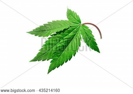 Cannabis Leaf On A White Background Isolated. Medicinal Marijuana Leaves Of The Jack Herer Variety A