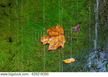 Bright Autumn Background. Maple Leaf On Green Moss. Soft Natural Wallpaper. Wet Orange Leaves In The