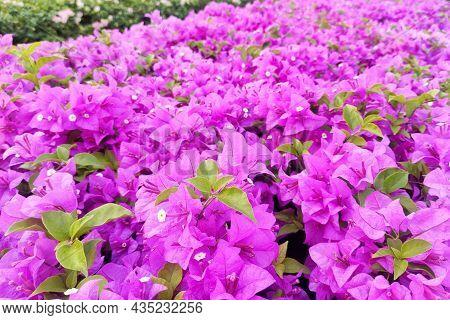 Paper Flowers Bush In Full Bloom. Flowering Shrubs For Garden And Landscape Design. Bougainvillea Gl