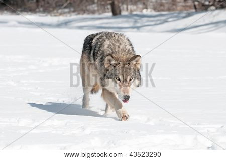 Grey Wolf (Canis lupus) Runs Along Snowy Riverbed with Tongue Out