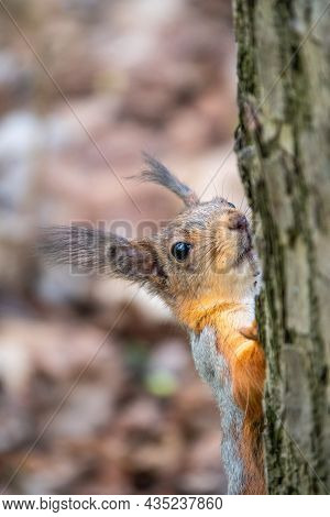 Portrait Of A Squirrel On A Tree Trunk. A Curious Red Squirrel Peeks Out From Behind A Tree Trunk