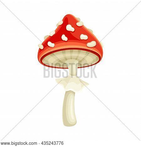 Fly Agaric Poisonous Mushroom. Amanita Toadstool Cartoon Vector Illustration