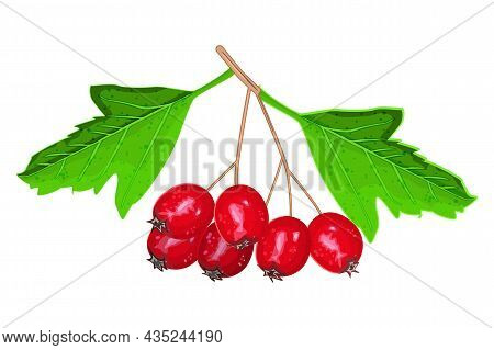 Hawthorn Isolated On White Background. Bunch Of Hawthorn Red Berries With Green Leaves. Crataegus Be