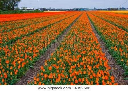 Colorful Tulipfields