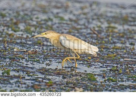 Squacco Heron Ardeola Ralloides Stood On Edge Of River Bank Wetlands In Grass Reeds