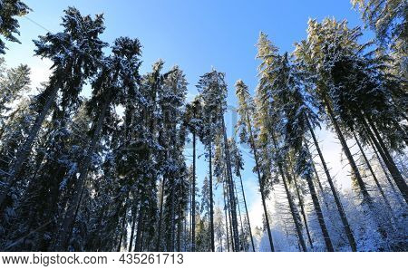 Landscape with tall trees in a winter forest against a blue sky