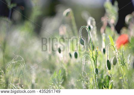 small poppy flower summer meadow