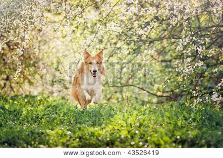 Border Collie Dog Running In Spring