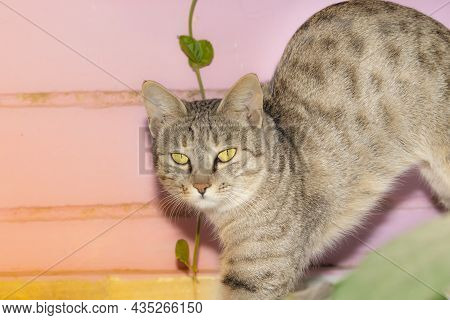 Close-up Of A Tabby Grey Pet Cat Standing With Bloated Belly And Hair With Cat Pictures, Cat Eyes, C