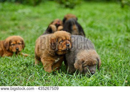 Little Puppys Newfoundland, Running Around, Playing In The Summer Park