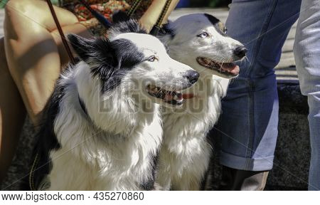 Two Dogs (border Collies) Enjoying The Morning Sun At The Park