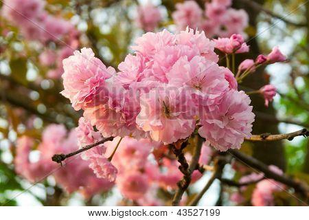 Morning Sakura Bud