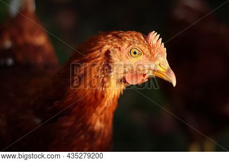 Chicken - Close Up And Side View Of The Head Of A Young Brown Hen, Illuminated By The Sun