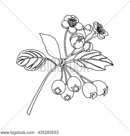 Monochrome Twigs Of Hawthorn (crataegus Oxyacantha). Can Be Used For Cards, Invitations, Advertising