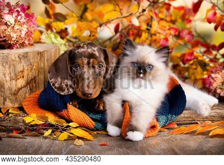 cat and dog, dachshund puppy chocolate merle color and White kitten