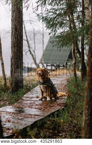 Attractive brown Nova Scotia Duck Tolling Retriever waiting human on a wooden pier. Pretty dog in na