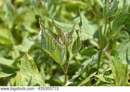 Red-barked Dogwood Spaethii Leaves - Latin Name - Cornus Alba Spaethii