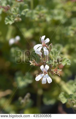 Apple Scented Geranium - Latin Name - Pelargonium X Fragrans