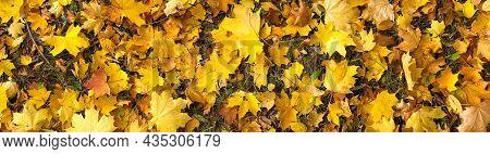 Yellow Maple Tree Leaf On Ground, Autumn Background