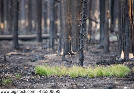 Grass Growing On The Ground After A Recent Fire In The Forest