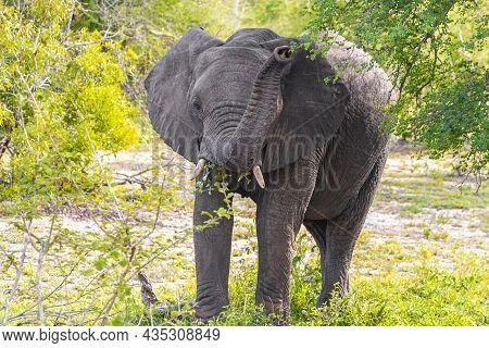 Big Five African Elephant Kruger National Park Safari South Africa.