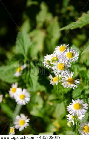 Selective Focus Chamomile In Foreground On Blurred Background Of Green Grass. Natural Background. Fl