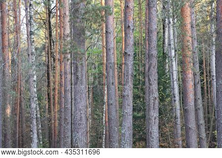 Pine And Birch Trunks, Autumn Forest, Background With Tree Trunks