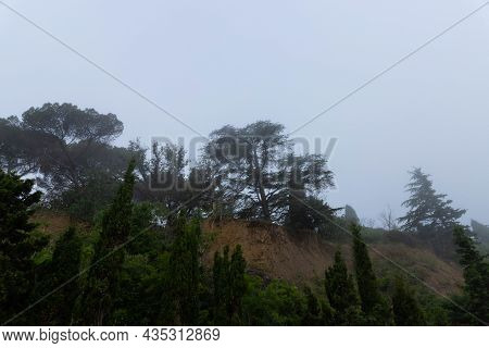 Cypress During The Morning Fog. Idyptic Landscape.