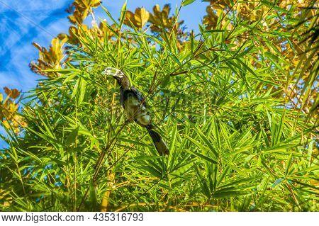 Great Indian Hornbill Bird Yellow Beak Koh Phayam Ranong Thailand.
