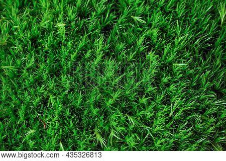 Moss Dicranum Scoparium, Evergreen Plant Of The Moist Forest. Green Moss Texture And Background.