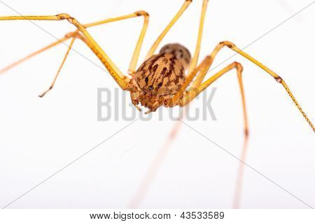 Long-legged Spider
