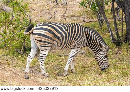 Striped Zebra Eats Grass Kruger National Park Safari South Africa.