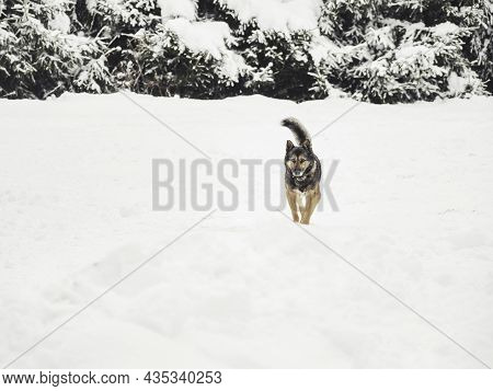 Domestic Dog In Collar Runs Through Snow-covered Field. Free-range Furry Animal In Countryside. Cold