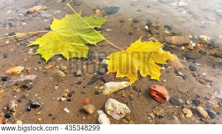 Autumn Composition With Yellow Maple Leaves. Fallen Golden Leaves In Water