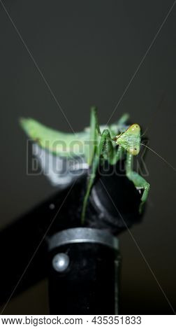 Photo Of A Giant, Green, African Bush Praying Mantis Standing On Top Of A Black Metal Stand And Obse
