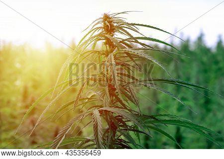 Medical Sativa Cannabis Growing Outside At Sunset Evening.marijuana Plant Outdoor Cannabis Farm Fiel