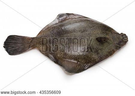 frog flounder isolated on white background