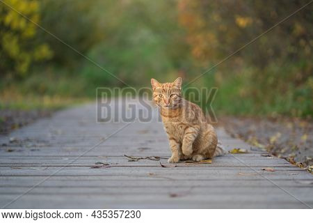 Selective Soft Focus On Curious Ginger Homeless Cat With Raised Paw Sitting On Wooden Pathway Outdoo