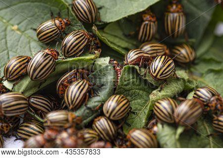 Potato Bugs On Foliage Of Potato In Nature, Natural Background, Close View. Colorado Beetle Eats A P