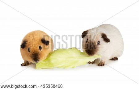 Lunch Time. Two Likable Guinea Pigs Eating One Cabbage Leaf Isolated On A White Background