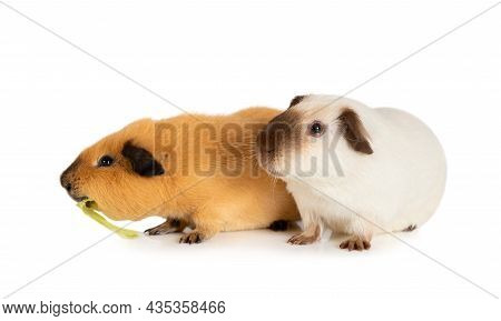 Portrait Of A Two Likable Guinea Pigs Isolated On A White Background